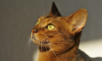 Abyssinian cat head shot