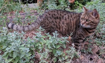 Bengal cat breed, shorthair cat, pedigree cat