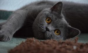 british-shorthair-cat blue
