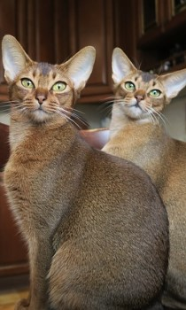 Abyssinian cat short haired cat breed