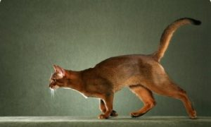 Abyssinian cat walking, shorthair cats, pedigree cat, domestic cat