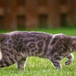 Bengal Cat, shorthair cat, pedigree cat, kittens