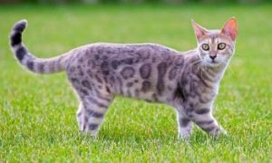 Bengal cat walking, short hair cat