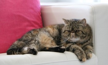 Exotic Shorthair cat on couch