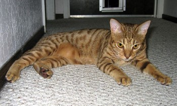 Shorthair cat breed Ocicat spotted cat