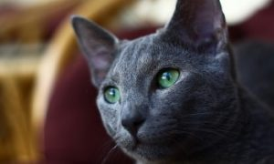 Russian blue cat purebred short hair cat, feline, cat with short hair, short haired cat, types of cats