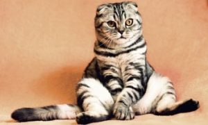 Scottish Fold Cat, shorthair cat, short haired cats, domestic cat, feline, kitty cat, cat breeds