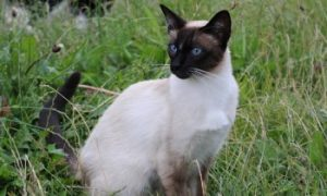 Siamese cat sitting in grass, siamese cat breed, pedigree cat, purebreed cat, purebred cat, low shedding cat