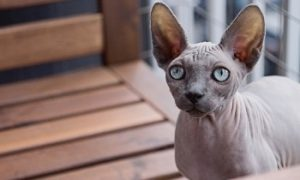 Sphynx cat, hairless cat breed, affectionate cat breed