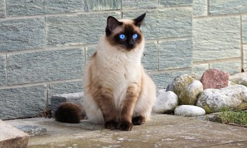 siamese cat sitting on pavement