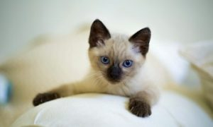 Siamese kitten low shedding cat