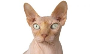 Sphynx cat face, Sphynx cat breed, hairless cat, affectionate cat, purebreed cat