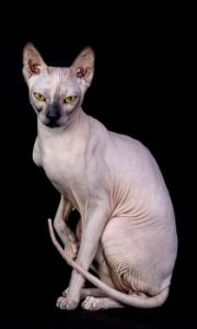 Sphynx cat sitting, Sphynx cat breed