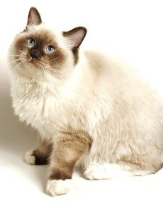 Birman Cat, low shedding cat