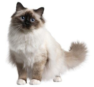 Birman Cat low shedding