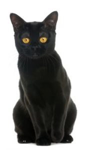 Bombay Cat sitting, Bombay Cat, Bombay cat breed, short hair cat, low shedding cat, domestic cat, purebred cat, feline