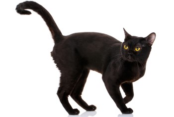 Bombay Cat, Bombay cat breed, short hair cat, low shedding cat, domestic cat, purebred cat, feline