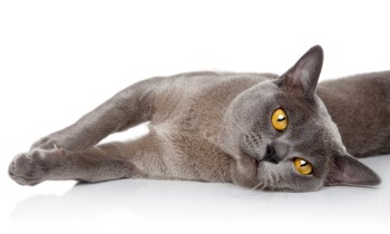 Burmese Cat, cat with short hair, low shedding cat