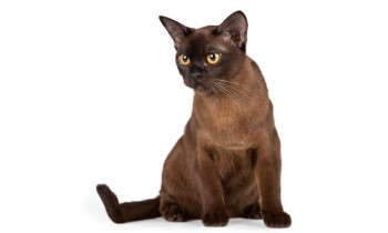 Burmese cat chocolate color, shorthair cat, low shedding cat