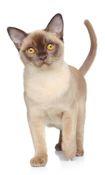 Burmese kitten, shorthair cat, low shedding cat