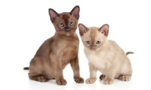 Burmese kittens, short hair cats, low shedding cats
