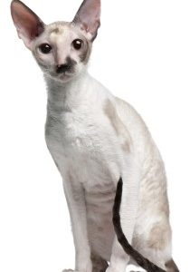Cornish Rex Cat sitting, Rex Cat, Short haired cat, low shedding cat, cat, feline, domestic cat