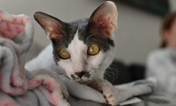 Cornish Rex Cat, shorthair cat, low shedding cat