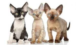 Devon Rex kittens, short haired kittens, low shedding cats