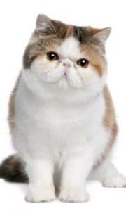 Exotic Shorthair Cat sitting, shorthair cat, Persian cat, feline, domestic cat, kitty cat, cute cat