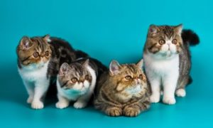 Exotic Shorthair kittens, Exotic shorthair cat, cats with short hair, short haired cats, domestic cat, pedigree cat, pure breed cat, feline, kitty cat, kittens, cute cats