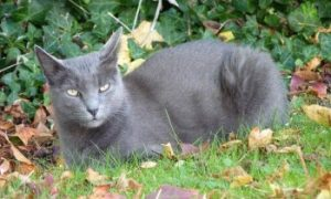 Korat cat, shorthair cat, low shedding cat