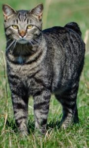 Manx Cat standing, Manx cat, shorthair cat, domestic cat, feline, cats