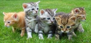 Moggy kittens, purebreed kittens, kittens, feline, shorthair cats, domestic cat