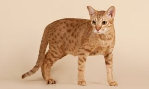 Ocicat cat, shorthair cat, spotty cat, domestic cat