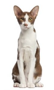 Oriental Shorthair Cat sitting, Oriental Cat, domestic cat, pedigree cat, shorthair cat, feline, low shedding cat