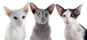Oriental shorthair cats, domestic cat breed