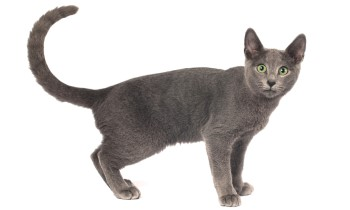Russian Blue Cat Breed, shorthair cat, low shedding cat