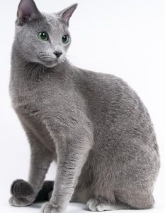 Russian Blue Cat, short hair cat, low shedding cat, feline, purebreed cat