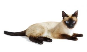 Siamese cat dark points, Siamese cat, Siamese cat breed, low shedding cat, feline, kitty cat, shorthair cat, active cat, talkative cat