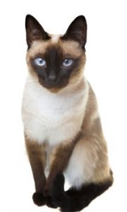 Siamese cat sitting, Siamese cat dark points, Siamese cat, Siamese cat breed, low shedding cat, feline, kitty cat, shorthair cat, active cat, talkative cat