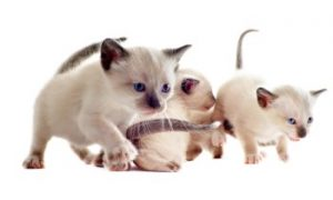 Siamese kittens, Siamese cats, Siamese cat breed, purebreed cat, pedigree cat, shorthair cat breeds, low shedding cat