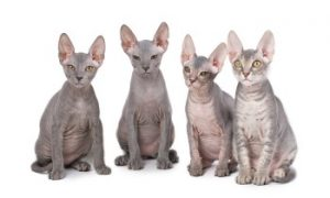 Sphynx cat, hairless cat, low shedding cat, affectionate cat