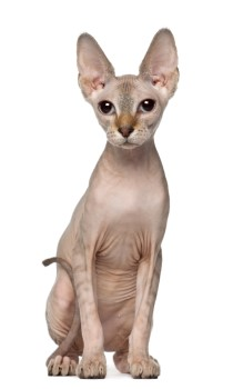 Sphynx cat, hairless cat, low shedding cat, purebred cat, domestic cat