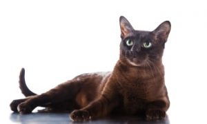 Tonkinese cat reclining, shorthair cat, low shedding cat, purebred cat, feline, domestic cat