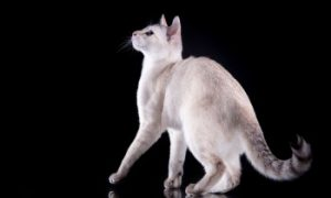 Tonkinese cat standing, shorthair cat, low shedding cat, purebred cat, feline, domestic cat