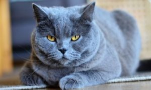 Chartreux, Chartreux Cat breed, shorthair cat breed