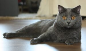 Chartreux, Chartreux Cat breed, short haired cat breed
