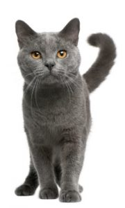 Chartreux cat standing, Chartreux Cat breed, short haired cat breed