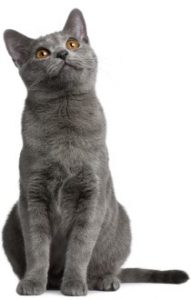 Chartreux kitten, Chartreux Cat breed, shorthair cat breed