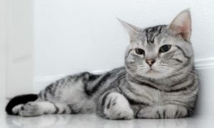 American Shorthair cat laying down, American Shorthair Cat, black and white cat